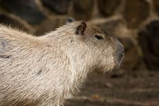 Free Capybara Rodent Royalty Free Stock Photo - 16203845