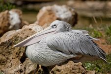 Free Pink-backed Pelican Stock Image - 16203891