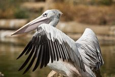 Free Pink-backed Pelican Royalty Free Stock Image - 16203916