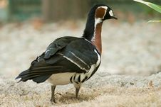 Free Red Breasted Goose Royalty Free Stock Photo - 16204015