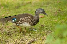 Free Mandarin Duck, Female Stock Photography - 16204042
