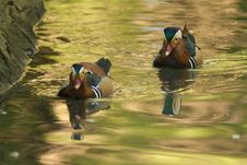 Free Two Mandarin Duck Drakes Stock Photos - 16204053