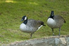 Free Canada Goose Pair Royalty Free Stock Photos - 16204058