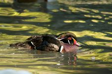 Free Wood Duck Drake Stock Image - 16204061