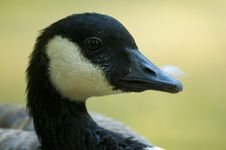 Free Canada Goose Portrait Royalty Free Stock Photography - 16204067