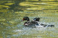 Wood Duck Drake Royalty Free Stock Photos