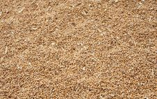 Free Wheat Crop Royalty Free Stock Photos - 16206848