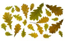 Free Collection Autumn Leaves Of Oak Royalty Free Stock Images - 16208129
