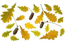 Collection Autumn Leaves Of Oak Royalty Free Stock Images