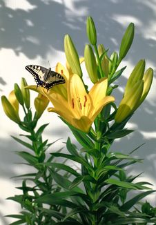 Free Lilies And Butterfly Stock Photography - 16208492
