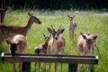 Free Fallow Deers Royalty Free Stock Photos - 16216258