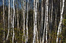 Free Belorussian Swamp Little Birch Background Stock Photos - 16210203