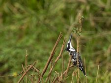 A Pied Kingfisher Controlling The Danger From Abov