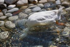 Free White Duck On The Pond Royalty Free Stock Image - 16212046