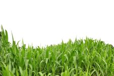 Free Curve Grass And White Isolate Background Royalty Free Stock Images - 16212909