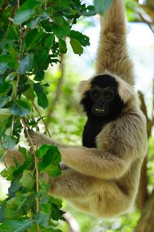 Free Gibbon Stock Photo - 16212970