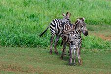 Free Zebra Family Royalty Free Stock Image - 16212976