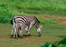 Free Zebra Family Royalty Free Stock Photos - 16212978