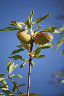 Free Almond Stock Image - 16213451
