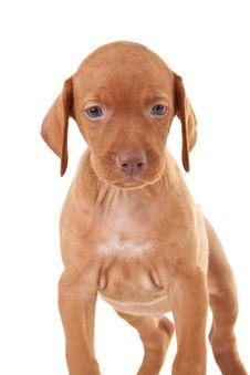 Free Adorable Vizsla Puppy Royalty Free Stock Photo - 16214175
