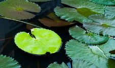 Free Water Lily Leaves Royalty Free Stock Image - 16215166