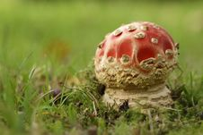 Toadstool Or Fly Agaric Mushroom In The Grass Stock Images