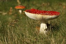 Toadstool Or Fly Agaric Mushroom In The Grass