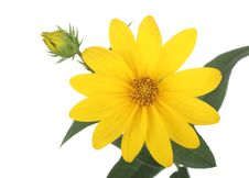 Free Yellow Daisy Stock Images - 16216984