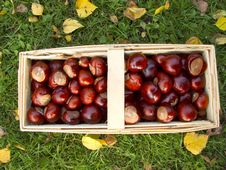 Basket Full Of Chestnuts Stock Image
