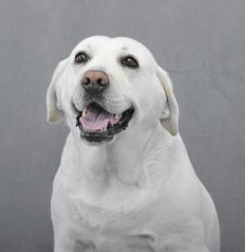 Free Labrador Retriever Royalty Free Stock Image - 16217566