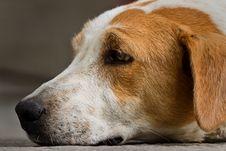 Free Lying Dog Royalty Free Stock Image - 16217786