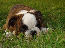 Free English Bulldog Stock Photo - 16218860