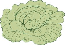 Cabbage Head Stock Images