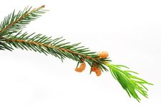 Free The Green Spruce Branch Stock Image - 16218931