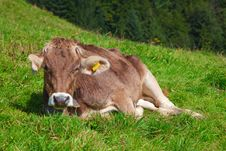 Free Calf Stock Photography - 16219892