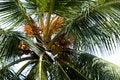 Free Coconut Tree Royalty Free Stock Image - 16220656
