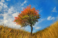 Free Lone Tree In The Fall Time Royalty Free Stock Photography - 16228177