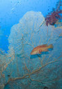 Free Sixspot Grouper On A Giant Fan Coral. Stock Image - 16229501