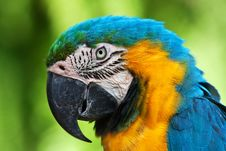 Free A Blue And Yellow Macaw Royalty Free Stock Photos - 16220348