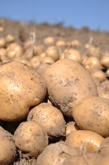 Free Potato Harvest Stock Photo - 16220970