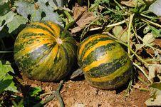 Pumpkins (Cucurbita Moschata) Stock Photo