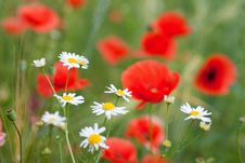 Free Chamomiles And Poppy Royalty Free Stock Photography - 16221417
