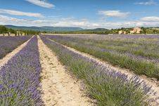 Free Lavender Field Royalty Free Stock Images - 16222819