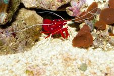 Free Blood Or Fire Shrimp Royalty Free Stock Image - 16224156