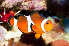 Free Ocellaris Clownfish Royalty Free Stock Images - 16224159