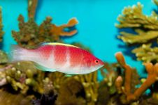 Free Yellow Fin Fairy Wrasse Royalty Free Stock Image - 16224176