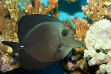 Free Black Longnose Sailfin Tang Royalty Free Stock Image - 16224186