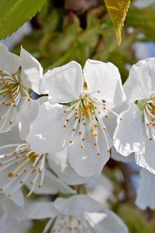 Free Cherry Blossom Stock Photos - 16225693