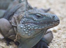 Free Iguana Stock Images - 16225944