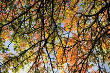 Free Fall Colored Leaves Background Royalty Free Stock Image - 16228186